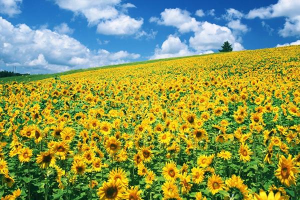 Hoa hướng dương nở rực xua tan giá lạnh ngày đông